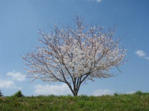 20080403桜
