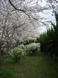 20080404桜2