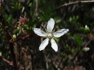 20080527ミヤマニガイチゴ