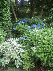 20080702紫陽花2