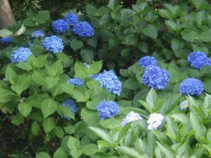 20080702紫陽花