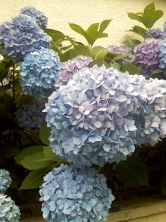 おばあちゃんの紫陽花