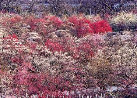 大阪城公園梅2