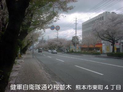 健軍の桜並木(=・д)(д・=)