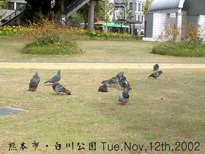 鳩の一団@白川公園