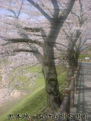 熊本城内の桜