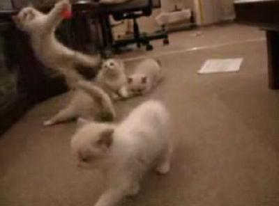 戯えるラグドール子猫達