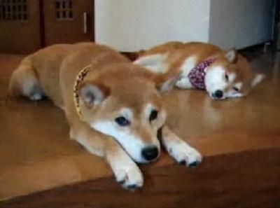 【ひかりといちご】お疲れねむねむ柴犬【美人親子】