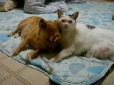 猫に甘えるチワワ