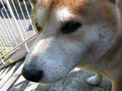 【柴犬】寒いくらいが丁度いいぜ!【カイ】