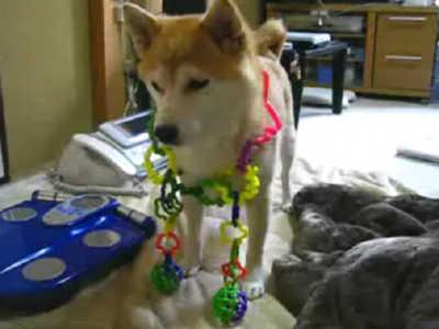 【柴犬りょう&ローズ】おもちゃ&気になる(08年12月8日)