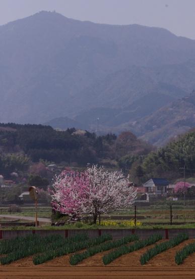 桃の花と大山