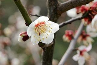 南高梅の花