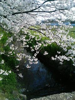 桜1 2009