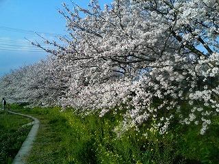 桜3 2009