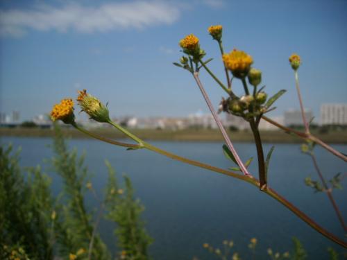005多摩川河口付近堤防の植物