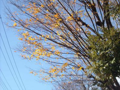 散りかけたイチョウの木