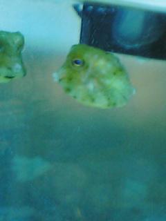 fugu151.jpg