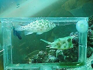 fugu237.jpg