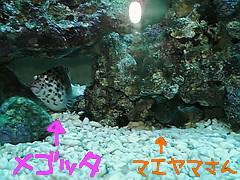 fugu240.jpg
