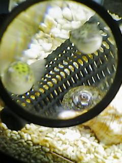 fugu49.jpg