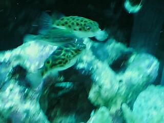 fugu65.jpg
