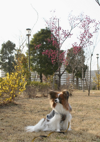 寒緋桜とレンギョウの前で
