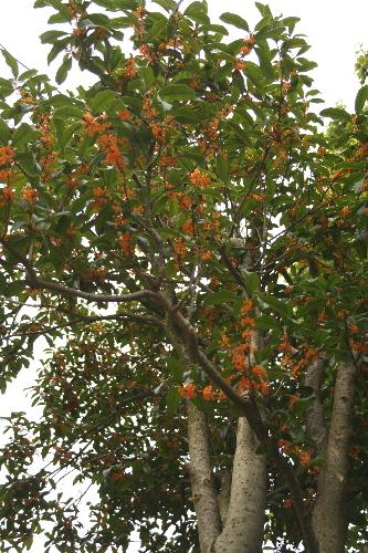 金木犀の木