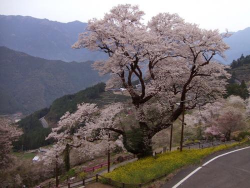 ひょうたん桜03
