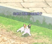 日本短尾貓