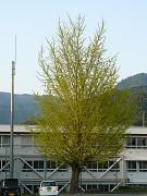 小学校のイチョウの木