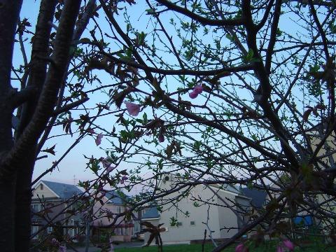 我が家の桜(2009.05.03)