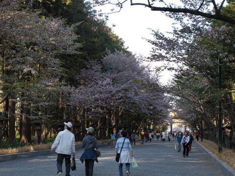 円山桜01(2009.05.06)