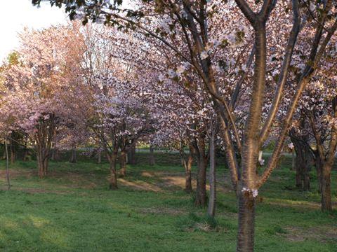 満開桜(2009.05.06)