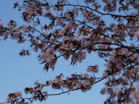 花は桜(2009.05.06)