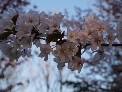 一枝桜(2009.05.06)
