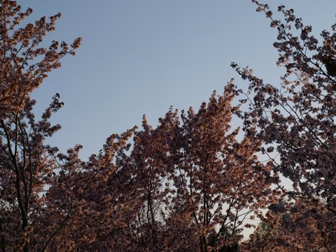 桜なのよっ(2009.05.06)