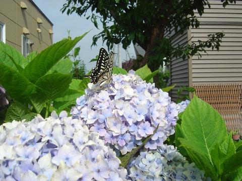 アゲハ蝶(2009.08.07)