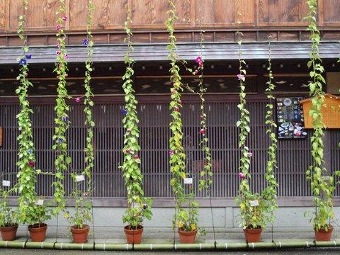 金沢の朝顔(2009.08.10)