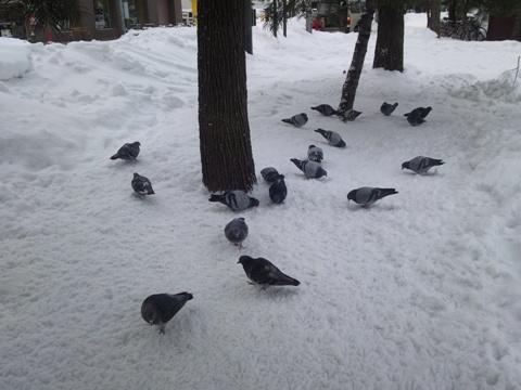 まんまる鳩さん(2012.02.04)