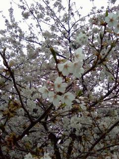 des fleurs de cerisier