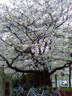 un cerisier au bord de SUMIDA