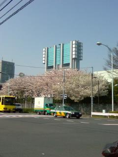 des arbres de cerisiers a SINAGAWA