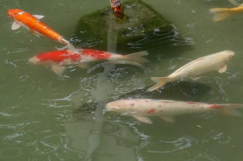 大濠公園の鯉