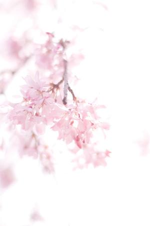 090325sakura.jpg