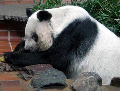 パンダのリンリン