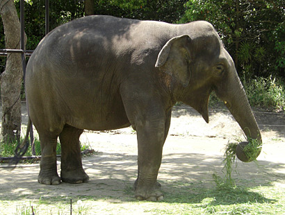 よこはま動物園ズーラシア・ゾウ