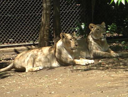 よこはま動物園ズーラシア・ライオン