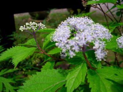 匂い紫陽花