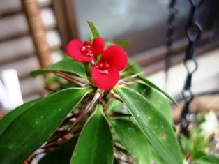 ハナキリン花